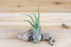 Sale: 70% Off [10, 20 or 50 Pack] Tillandsia Caput-Medusae Air Plants from AirPlantShop.com