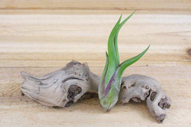 Sale: 50% Off [10, 20 or 50 Pack] Tillandsia Caput-Medusae Air Plants from AirPlantShop.com