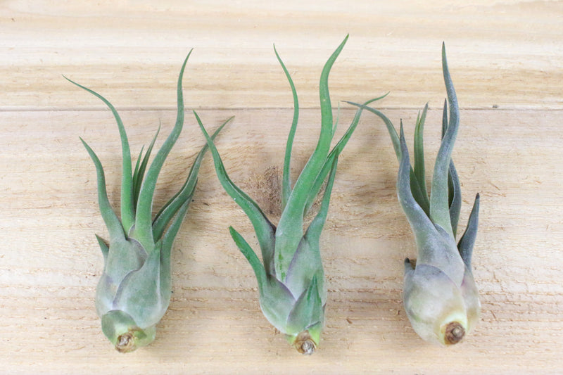 Large Tillandsia Caput Medusae Air Plant / 5-7 Inches Tall [1, 3 or 5 Pack] from AirPlantShop.com