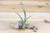 Large Tillandsia Baileyi Air Plants  / 6-8 Inches Tall [1, 3 or 5 Pack]
