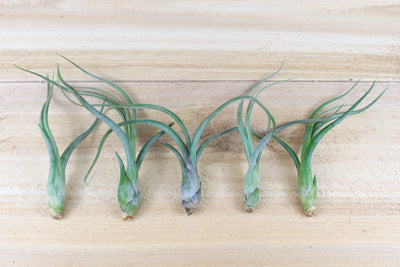 Sale: 35% Off [5, 10, or 15 Pack]  Baileyi Air Plants