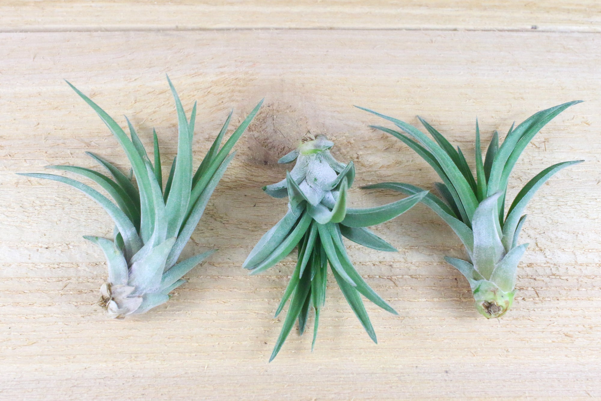 [3 Pack] Tillandsia Velutina Air Plants - Hardy plant with Rigid Leaves