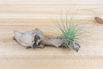 [6 Pack] Air Plant Grab Bag of Small & Medium Tillandsia from AirPlantShop.com