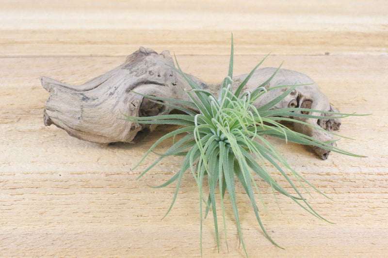 [3 Pack] Tillandsia Magnusiana Air Plants - Delicate, Fuzzy Leaves