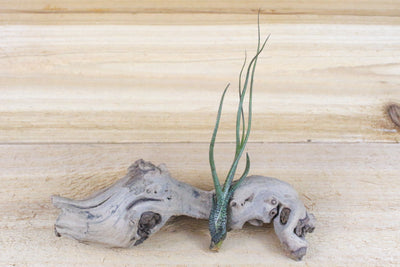 Wholesale: Tillandsia Tall Collection Air Plants [Min Order 12]