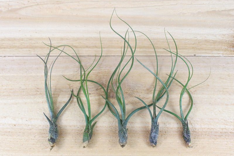Wholesale Special: Tillandsia Butzii Air Plants [Min Order 36]