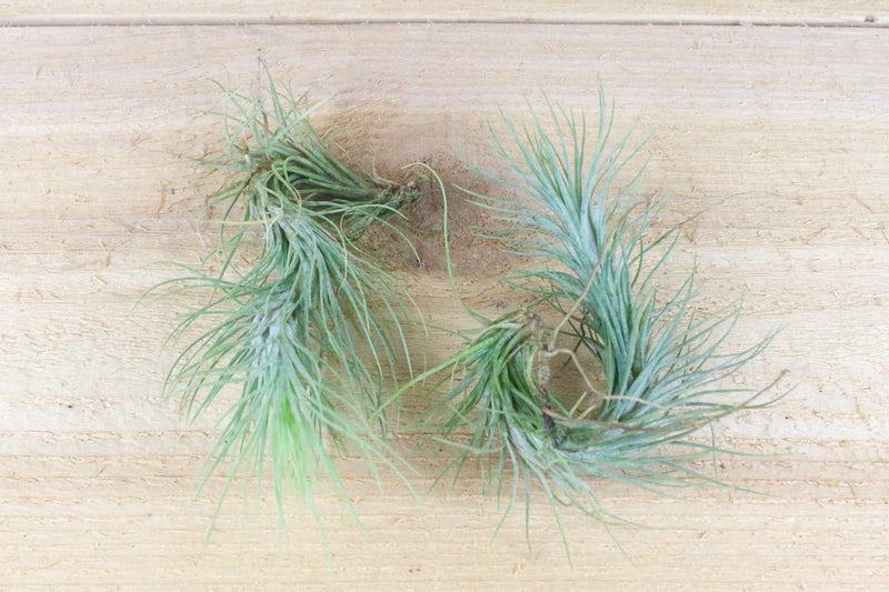 Tillandsia Funkiana Air Plants [Single Plant] from AirPlantShop.com