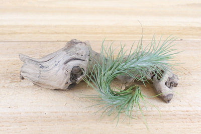 Tillandsia Funkiana Air Plants [Single Plant]