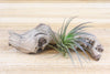 Wholesale: Tillandsia Tenuifolia Air Plants [Min Order 12]