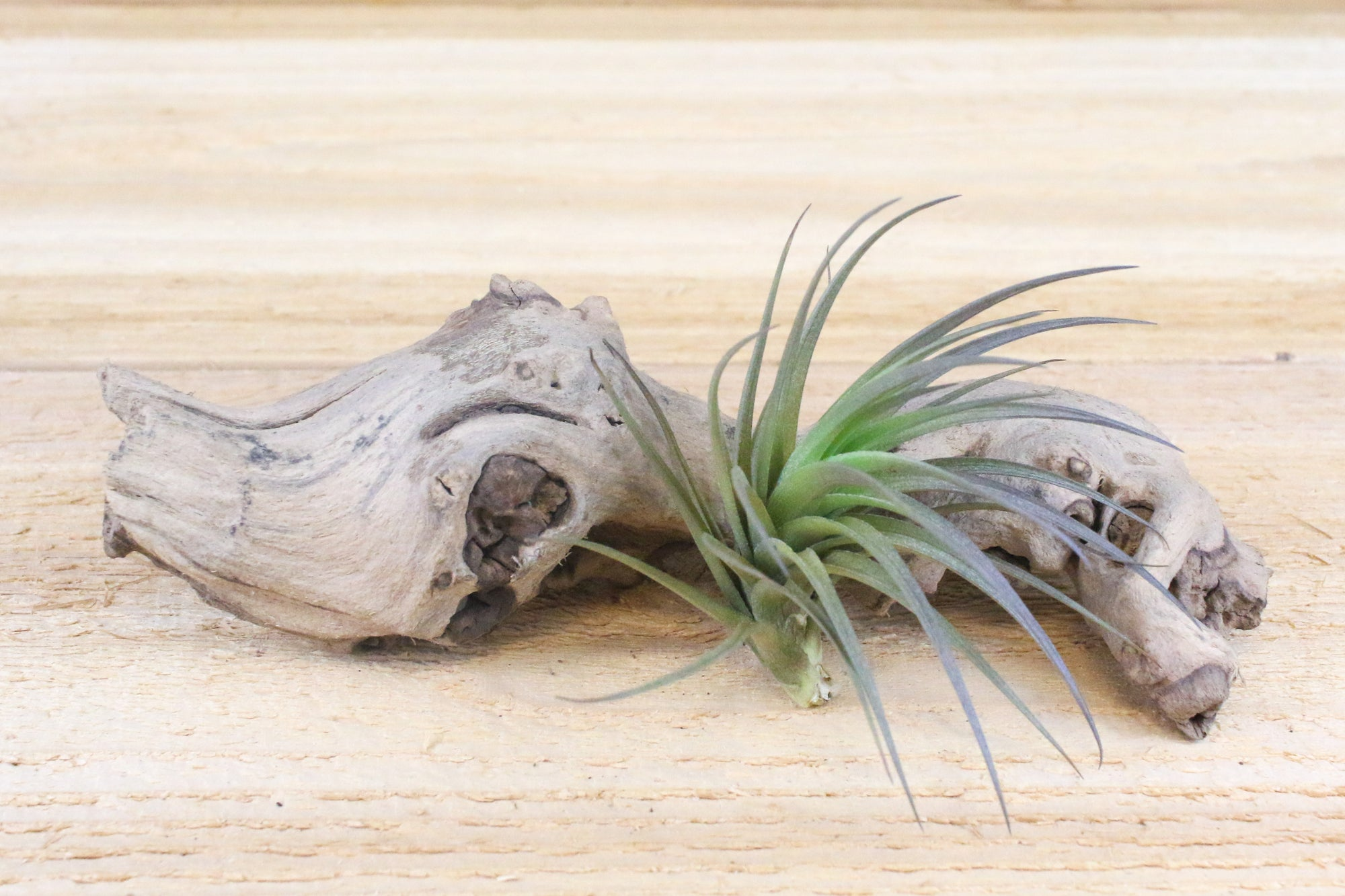 Tillandsia Tenuifolia Air Plants [Single Plant] from AirPlantShop.com
