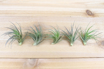 [5 Pack] Tillandsia Tenuifolia Air Plants