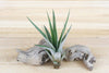 Wholesale: Large Tillandsia Fasciculata Tricolor 'Golden Torch' Air Plants / 7-9 Inches Tall [Min Order 12]