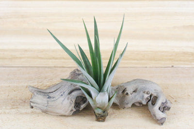 Wholesale: Tillandsia Fasciculata Tricolor 'Golden Torch' Air Plants [Min Order 12] from AirPlantShop.com