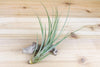 Wholesale: Tillandsia Fasciculata Tricolor 'Golden Torch' Air Plants [Min Order 12]