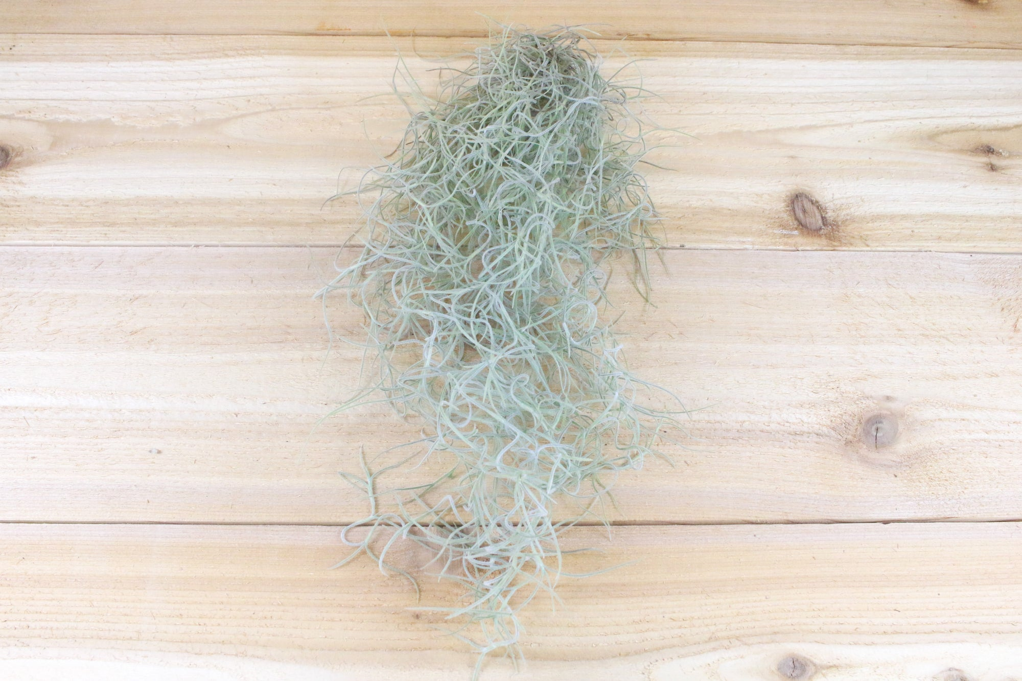 Wholesale: Tillandsia Usneoides- Spanish Moss Strands With Wire Hanger [Min Order 12] from AirPlantShop.com