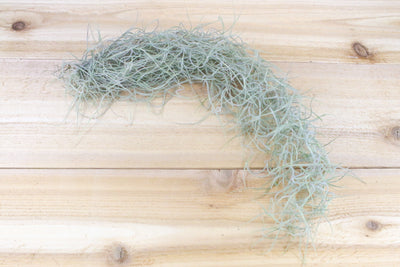 Sale: 25% Off [3 or 6 Pack] Guatemala Gray Spanish Moss / Tillandsia Usneiodes Clumps from AirPlantShop.com