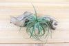Wholesale: Tillandsia Aeranthos Hybrid Air Plant 'Carnation of the Air' [Min Order 12]
