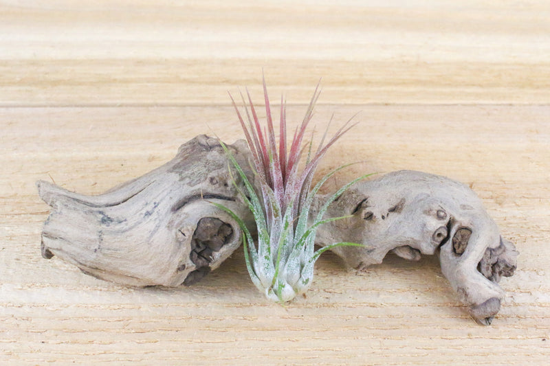 [9 Pack] Tillandsia Ionantha Air Plant Collection - 3 Mexican, 3 Guatemalan & 3 Fuego Air Plants from AirPlantShop.com
