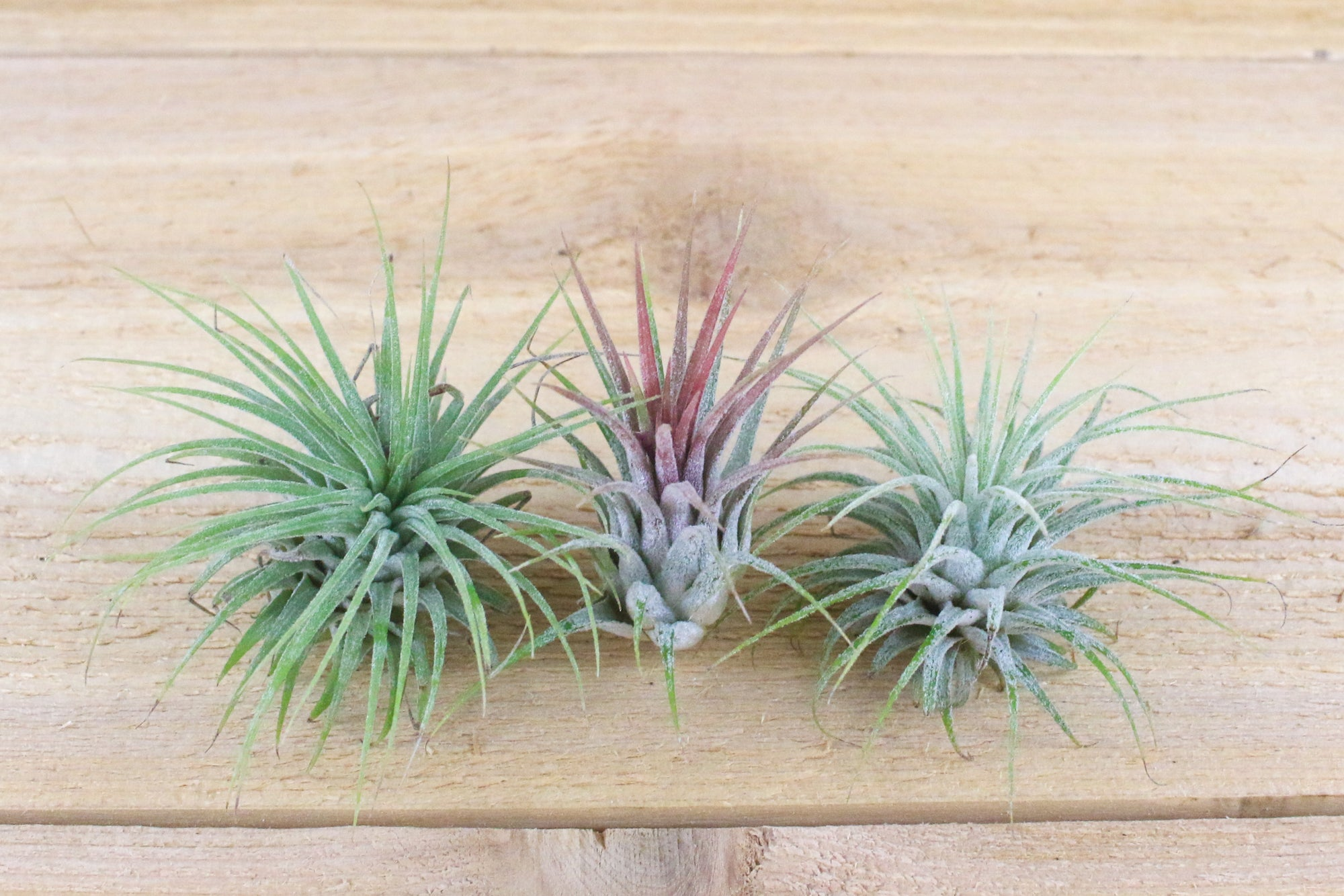 hanging glass air plant terrarium with flat bottom includes river stones u0026 air plant