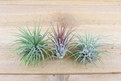 Wholesale: Flat Bottom Hanging Globe Terrarium with River Stones and Air Plant [Min Order 12] from AirPlantShop.com