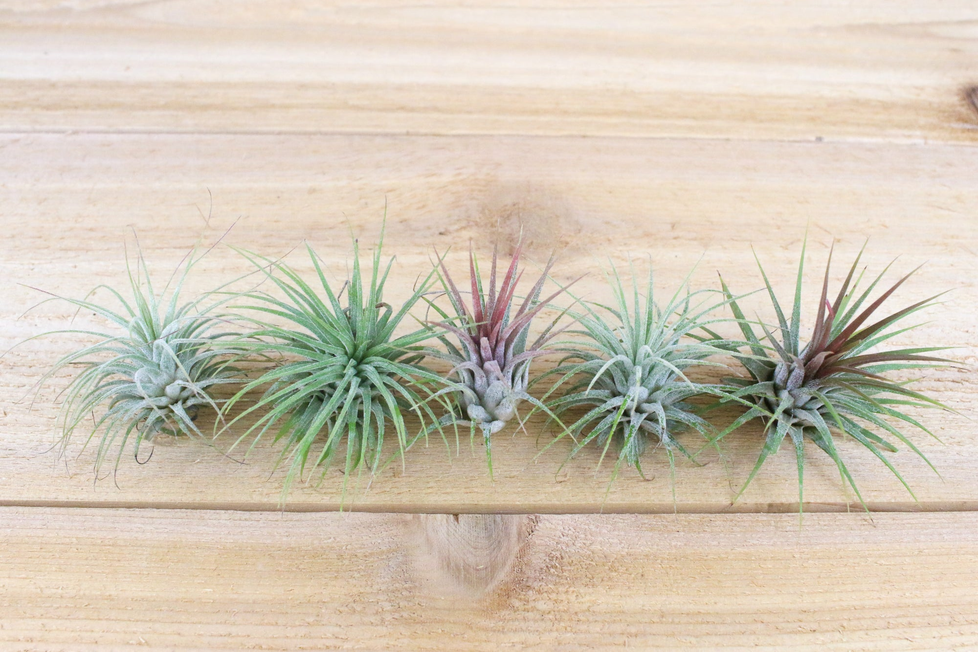 Sale: 70% Off [20, 30 or 50 Pack] Ionantha Guatemala Air Plants from AirPlantShop.com