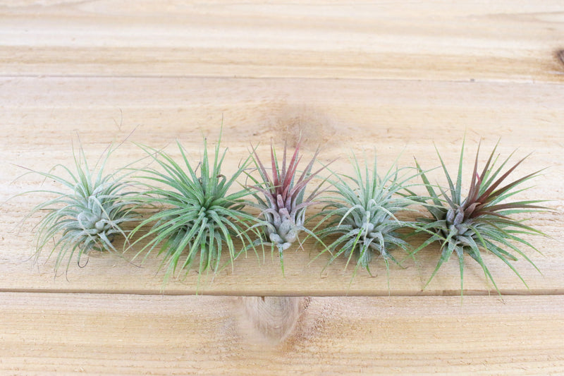 Sale: 70% Off [20, 30 or 50 Pack] Ionantha Guatemala Air Plants