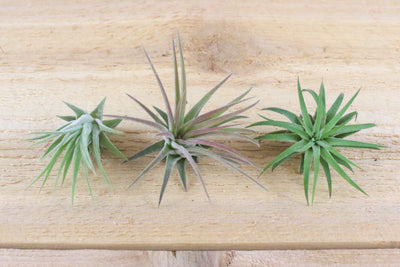Tillandsia Ionantha Mexican Air Plants [Single Plant] from AirPlantShop.com