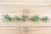 [10 Pack] Tillandsia Ionantha Mexican Air Plants from AirPlantShop.com
