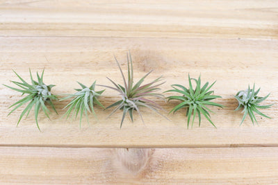 Wholesale: Tillandsia Ionantha Mexico Air Plants [Min Order 12]