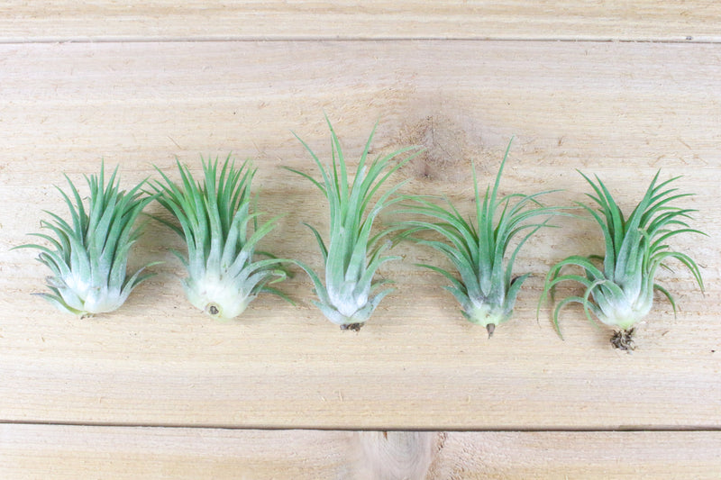Sale: 40% Off [10 or 20 Pack] Large Ionantha Rubra Air Plants from AirPlantShop.com
