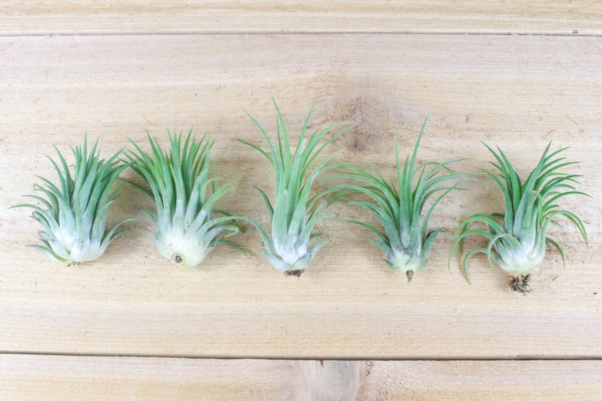 [5 Pack] Tillandsia Ionantha Rubra Air Plants from AirPlantShop.com