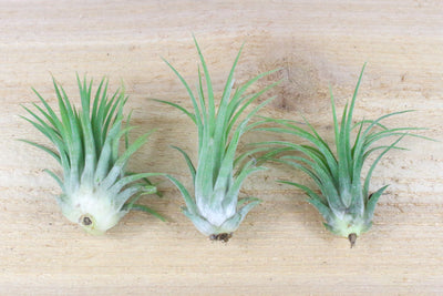 Tillandsia Ionantha Rubra Air Plants [Single Plant] from AirPlantShop.com