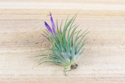 Sale: 40% Off [10 or 20 Pack] Jumbo Ionantha Rubra Air Plants from AirPlantShop.com