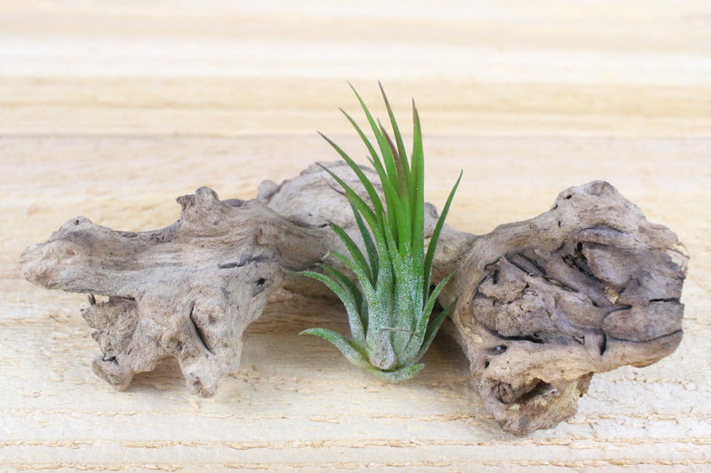 Tillandsia Ionantha Fuego Air Plants [Single Plant] from AirPlantShop.com