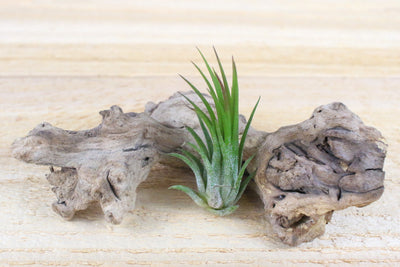 Sale: 45% Off [5, 10 or 20 Pack] Ionantha Fuego Air Plants from AirPlantShop.com