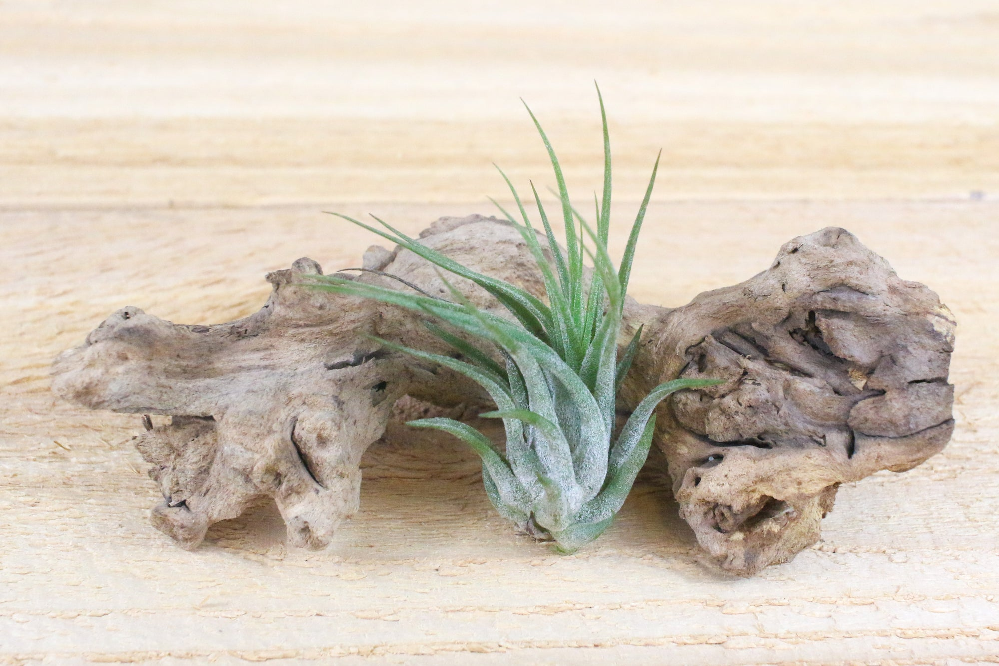 Tillandsia Ionantha Scaposa 'Kolbii' Air Plants [Single Plant]