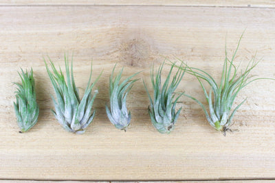 [5 Pack] Tillandsia Scaposa 'Kolbii' Air Plants