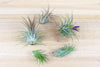 Wholesale: Tillandsia Ionantha Collection Air Plants [Min Order 12]