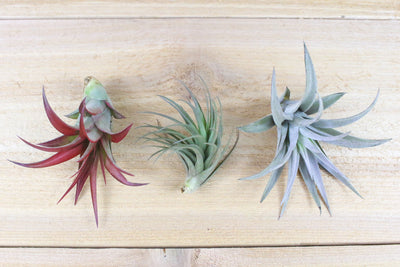 [6 Pack] Inca Collection of Air Plants