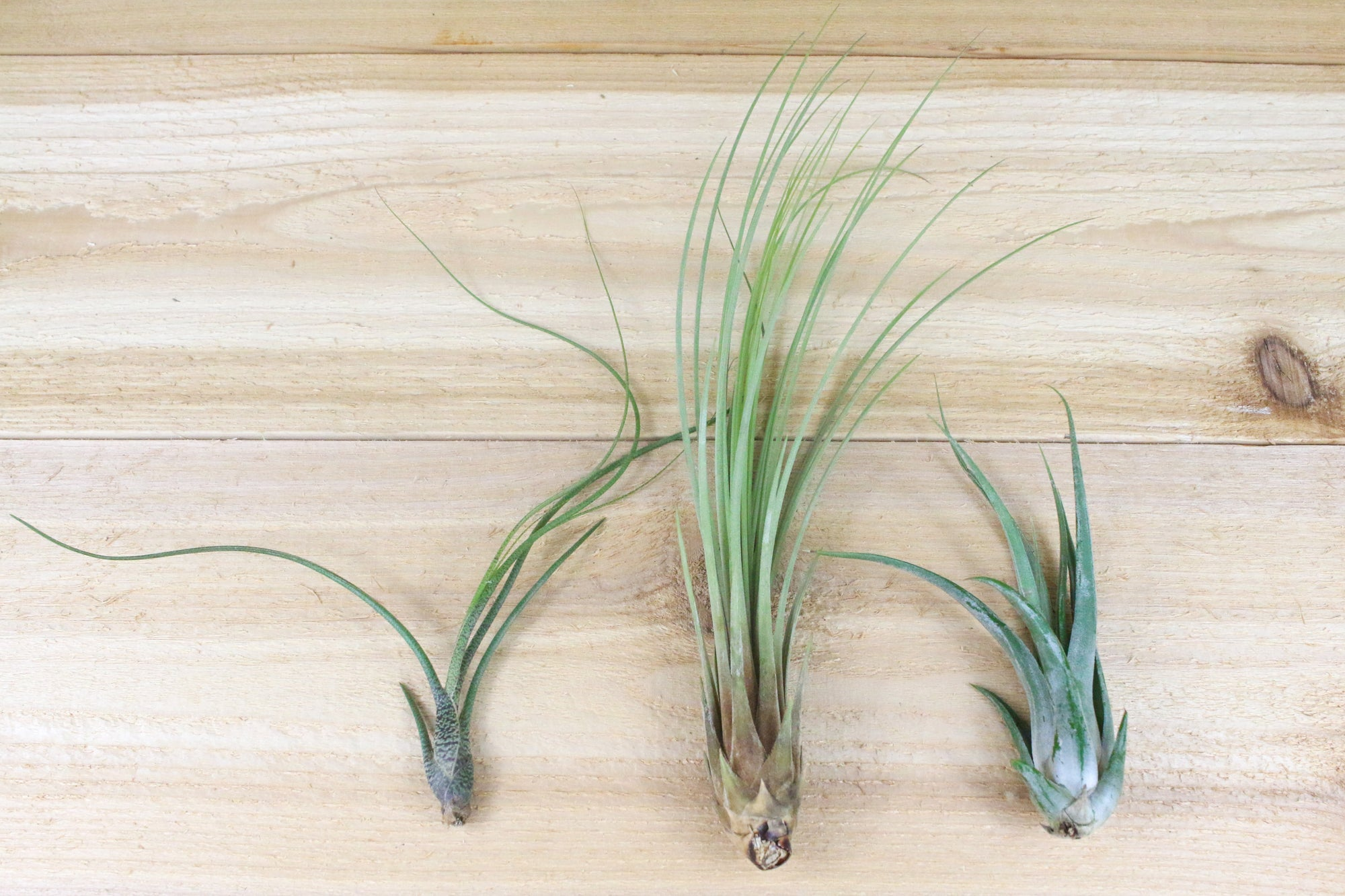 [6 Pack] Tall Collection of Tillandsia Air Plants from AirPlantShop.com