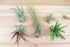 Wholesale: Mini Mopani Root with 1 Air Plant [Min Order 12]