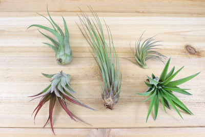 Wholesale Special: Tillandsia Classic Collection Air Plants [Min Order 36] from AirPlantShop.com