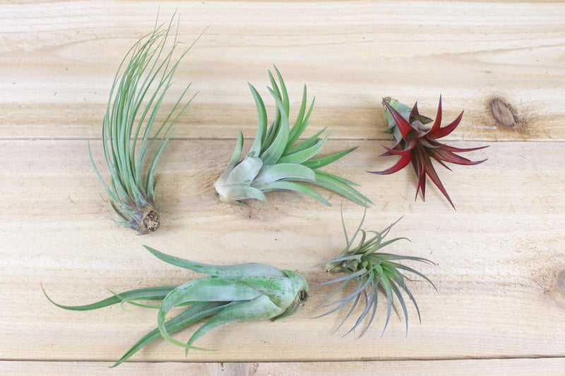 Wholesale: Tillandsia Classic Collection Air Plants [Min Order 36]