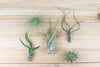 [5 Pack] Tillandsia Air Plants of Central America