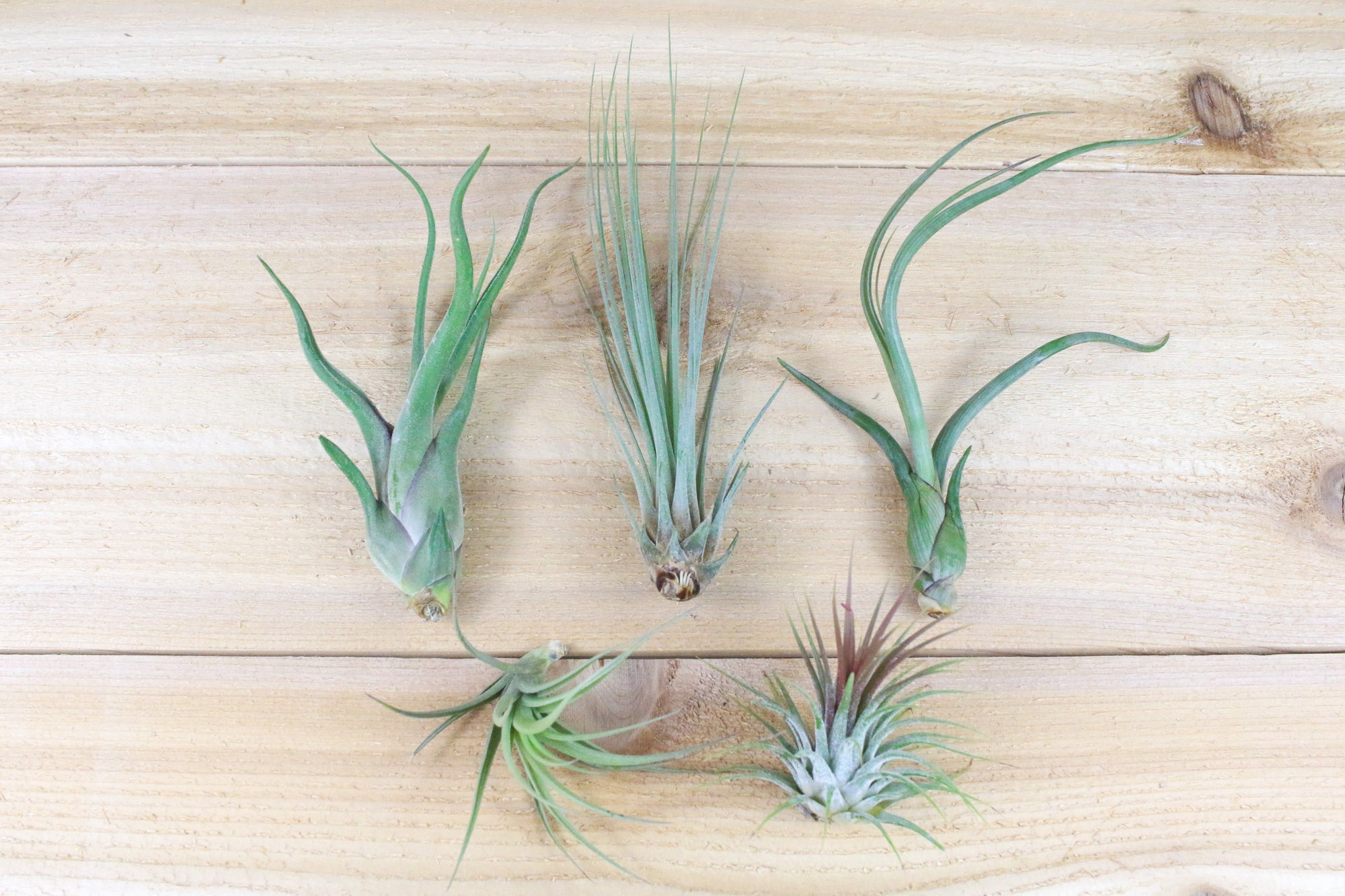 [5 Pack] Yucatan Collection of Tillandisa Air Plants