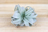 "Tillandsia Xerographica - Mini Size: 4 to 5 Inches Wide - The ""Princess"" of Air Plants [Single Plant] from AirPlantShop.com"