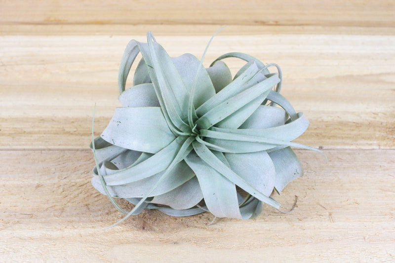 "Tillandsia Xerographica - Small Size: 4 to 5 Inches Wide - The ""Princess"" of Air Plants [Single Plant] from AirPlantShop.com"