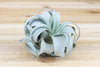 Wholesale: Mini Tillandsia Xerographica Air Plants / 4-5 Inches Across [Min Order 6]