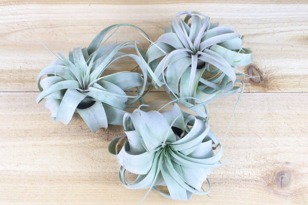 Wholesale: Best Seller Pack - 33 Plants Medium & Large Air Plants + 15 Ionanthas from AirPlantShop.com