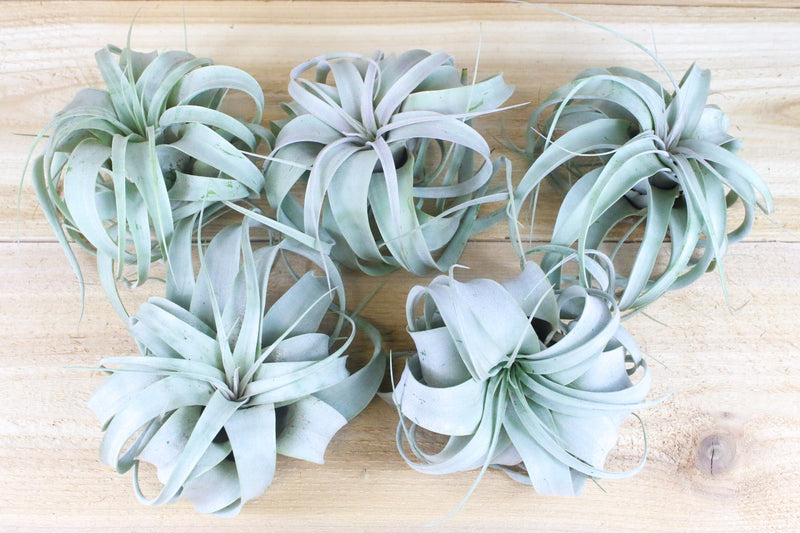 Sale: 30% Off [5, 10 or 15 Pack] Small Tillandsia Xerographica Air Plants from AirPlantShop.com